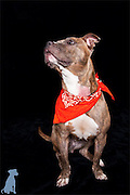 Betty posing for her adoption portrait.  The orange bandanna  signifies that she's new to the program and is not yet ready to be adopted.  Dog pictures by Michael Kloth.