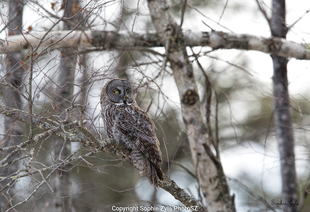 Great Gray Owl in the Birch