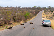 African wild dogs (Lycano pictus) on the road in Kruger NP, South Africa.