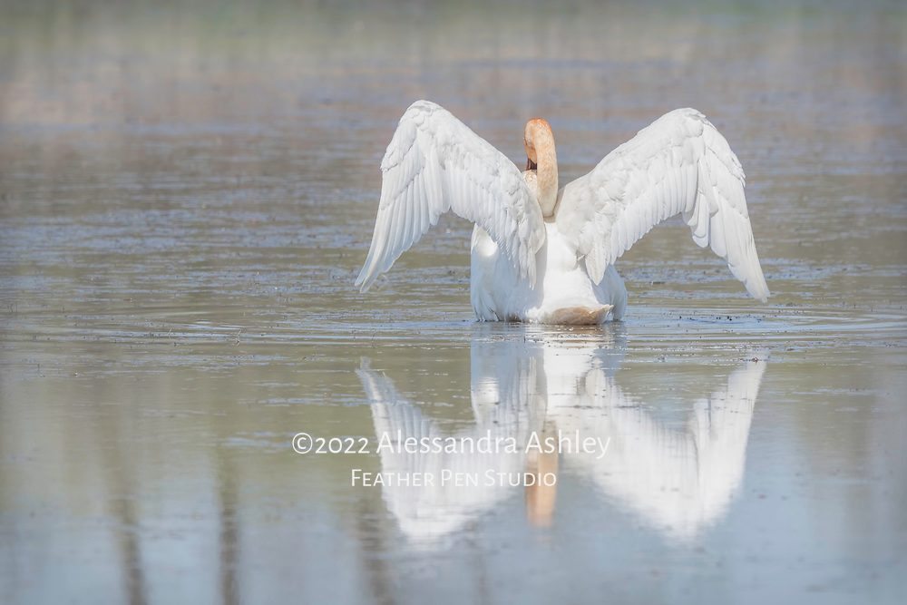 Trumpeter swan (Cygnus buccinator) with wings extended.  The heaviest bird native to North America, the trumpeter swan has a wingspan that may exceed ten feet. Photographed at Ottawa National Wildlife Refuge.