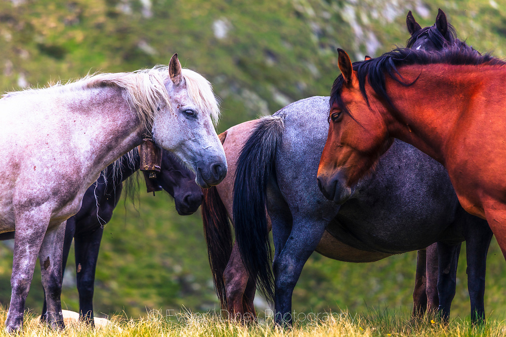 Free living horses in Rila Mountain