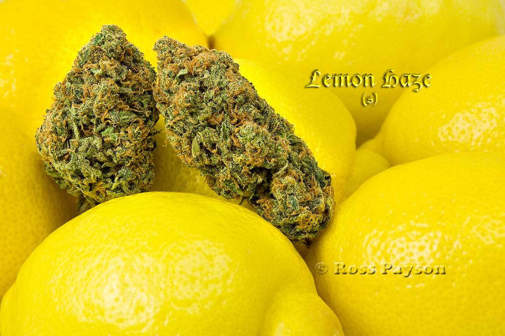 Lemon Haze nug photo shot in a professional photography studio.