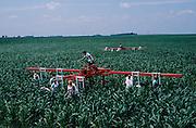 Corn detasssling in Iowa.