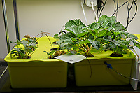 Hydroponic Tub 05 (Left) Tub 06 (Right) Day 28. L01-L06 Strawberry Runners from outside Grow Towers; R01-R06 Chandler Strawberry Plugs (ISONS) . Image taken with a Leica TL-2 camera and 35 mm f/1/4 lens (ISO 250, 35 mm, f/8, 1/50 sec).