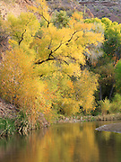 Cottonwood, willow, and sycamore don their autumn best in Aravaipa Canyon.