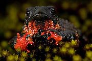Itamonte - MG, 27/04/2007..O sapo flamenguinho (Melanophryniscus moreirae), especie endemica de Itatiaia, foi escolhido como simbolo da comemoracao dos 70 anos do parque...FOTO: JOAO MARCOS ROSA / AGENCIA NITRO