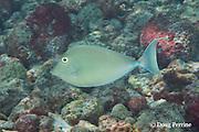juvenile bluespine unicornfish, longhorn unicornfish, brown unicornfish, or kala, Naso unicornis, Kahaluu Beach Park, Keauhou, Kona, Hawaii ( the Big Island ), Central Pacific Ocean