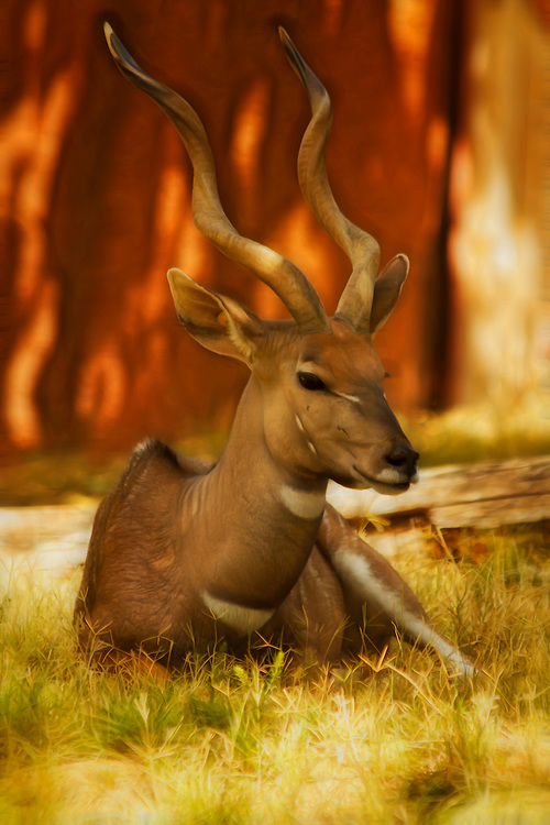 This Nyala is a beautiful spiral-horned antelope. This photo was shot at the Saint Louis Zoo.