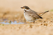 Female Bluethroat (Luscinia svecica) near a puddle of water in the desert, wintering in Negev, israel Photographed in January