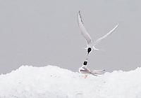 09.08.2008.Arctic tern (Sterna paradisea), adult feeding young.Jökulsárlón glacial lagoon.Iceland