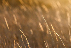 Backlit grasses in snow, High Point Park and Wildflower Preserve, Farmersville, Texas, USA.
