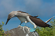 Blue-footed booby  (Sula nebouxii excisa)<br /> Punta Cevallos, Española or Hood Island Island<br /> GALAPAGOS ISLANDS<br /> ECUADOR.  South America<br /> By far the least common of the three booby species in Galapagos but the Blue-footed boobies are the most commanly seen as their small colonies are spread throughout the archipelago. They nest close to shore on flat areas. The nests are relatively closely spaced, but consist of nothing more than a shallow scrape in the ground. They have less than an annual breeding cycle and different colonies can be found breeding around the archipelago throughout the year. Their courtship antics are entertaining. In trying to attract a mate the male actually dances. If a female is attracted to him she will join him and together they will dance the 'booby two step'. Sexes are differentiated by the eyes. Males appear to have smaller pupils than females. (females have a darkly stained iris giving the impression of a larger pupil) The female is also larger and her voice is distinct - a honk while the male whistles. They are inshore feeders and are able to dive in shallow water. As they feed close to shore it is feasible for the parent birds to return with food sufficient for three chicks so in a good year they may raise up to three.