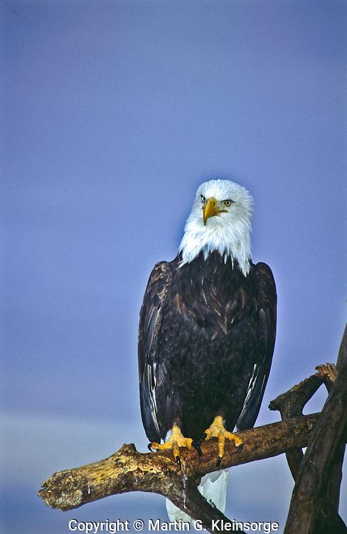 Bald Eagle (Haliaeetus leucocephalus) at Homer Spit, Alaska.