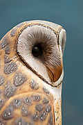 """""""Barn Owl, 1976."""" Bird carving by Wendell Gilley"""