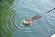 Israel, Jordan River, Yardenit Baptismal Site, Nutria, (Myocastor coypus) swims in the river