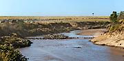 Wildebeests cross Mara River (Kenya).