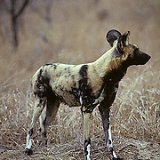 African Wild or Cape Hunting Dog, (Lycaon pictus) Lone adult in bushveld. Pack nearby. Kruger National Park. South Africa.