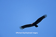 00780-00702 Turkey Vulture (Cathartes aura) in flight Marion Co.   IL