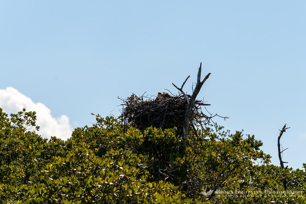 US, Florida. Ten Thousand Islands, Everglades. Osprey nest.