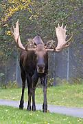 Alaska. Bull moose (Alces alces) during fall walking along Raspberry Road near Kincaid Park, Anchorage.
