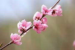 April 17, 2018 - Odesa, Ukraine - Pink blossoms cover a branch of a sakura, also known as a Japanese cherry, growing on the slopes of the 8th station of the Big Fountain, Odesa, southern Ukraine, April 17, 2018. Ukrinform. (Credit Image: © Serhii Liashonok/Ukrinform via ZUMA Wire)