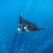 Oceanic manta (Mobula birostris) at a cleaning station, Santiago Island, Galapagos, Ecuador.