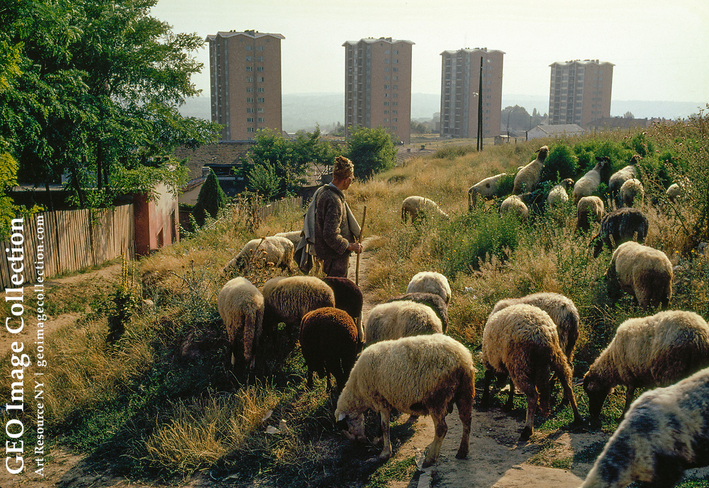 Shepherd watches flock in meadow edged by apartment buildings.