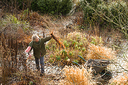 Carol working in the borders at Glebe Cottage in winter. Cutting down.