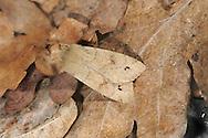 Twin-spotted Quaker - Orthosia munda