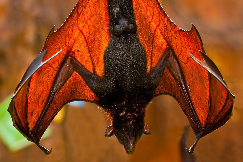 Giant Flying fox (bat), (Pteropus Vampyrus), Maharajah Jungle Trek, Disney's Animal Kingdom, Walt Disney World Resort, Orlando, Florida USA