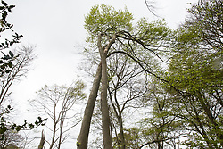 Wendover, UK. 4th May, 2021. Ancient woodland at Jones Hill Wood in the Chilterns AONB. Tree surgeons working on behalf of HS2 Ltd are currently felling a large section of the woodland, which contains resting places and/or breeding sites for pipistrelle, barbastelle, noctule, brown long-eared and natterer's bats, for the HS2 high-speed rail link after a High Court judge refused an application for judicial review and lifted an injunction.
