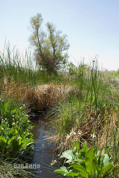 Yerba mansa, Anemopsis californica. Torrance Ranch, Nature Conservancy property in Oasis Valley, near Beatty, Nevada.  Habitat of Amargosa toad, Bufo nelsoni