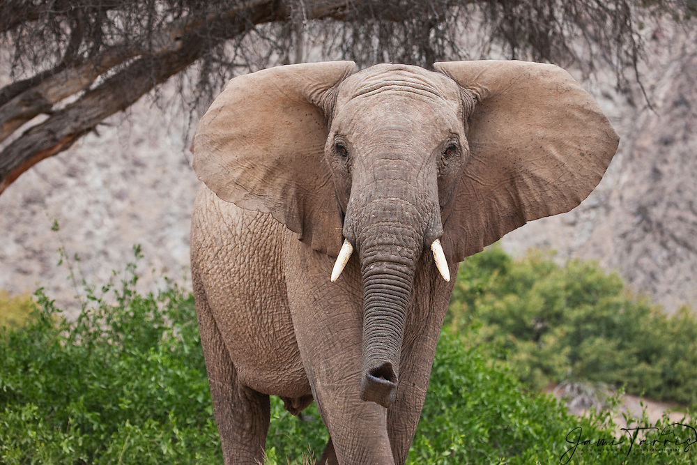 A desert adapted elephant bull (Loxodonta africana) scenting with his trunk, Skeleton Coast, Namibia,Africa
