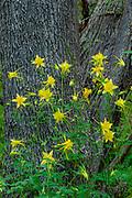 Golden Columbine and Arizona Ash, Sycamore Canyon Wilderness, Coconino National Forest, Yavapai County, Arizona