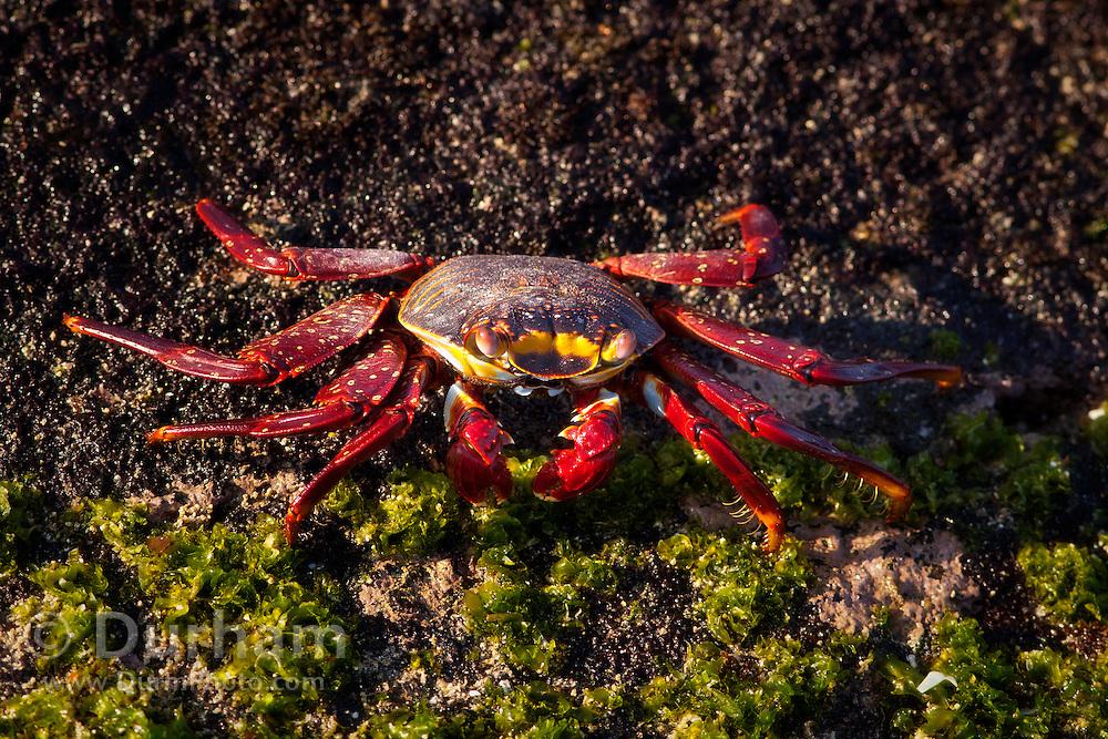 A red rock crab (Grapsus grapsus), Fernandina Island, Galapagos Archipelago - Ecuador.