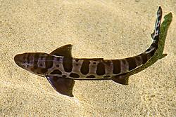 leopard shark, Triakis semifasciata, California, USA, East Pacific Ocean, captive