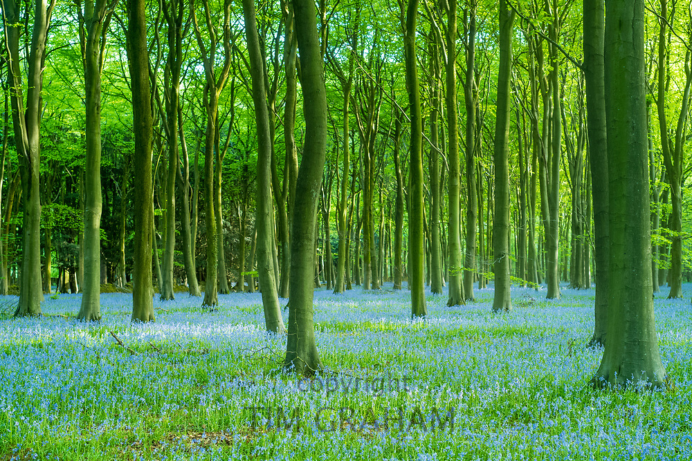 Blluebell wood and tree trunks in late Spring / early Summer in the Gloucestershire Cotswolds, UK