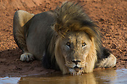 Lion (Panthera leo) drinking<br /> Marataba, a section of the Marakele National Park, Waterberg Biosphere Reserve<br /> Limpopo Province<br /> SOUTH AFRICA