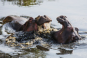 Two young hippopotamus (Hippopotamus amphibious) play-fighting in the water, Masai Mara, Kenya