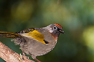Rufous-crowned Laughingthrush (Garrulax ruficeps) on the summit of Doi Inthanon National Park, Thailand