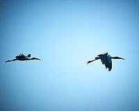 Wood Stork formation flight. Biolab Road, Merritt Island National Wildlife Refuge. Image taken with a Nikon D3s camera and 80-400 mm VR len (ISO 200, 400 mm, f/5.6, 1/640 sec).