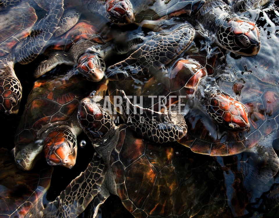 The demand for turtle shell products in Hainan and the rest of China is of an enormous magnitude, and the revenues generated by the industry are sufficient to override concerns of local enforcement and penalties. Photo: Paul Hilton for Earth Tree