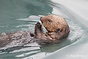 sea otter, Enhydra lutris ( Endangered Species ), eating clam and crab, Valdez, Alaska ( Prince William Sound )