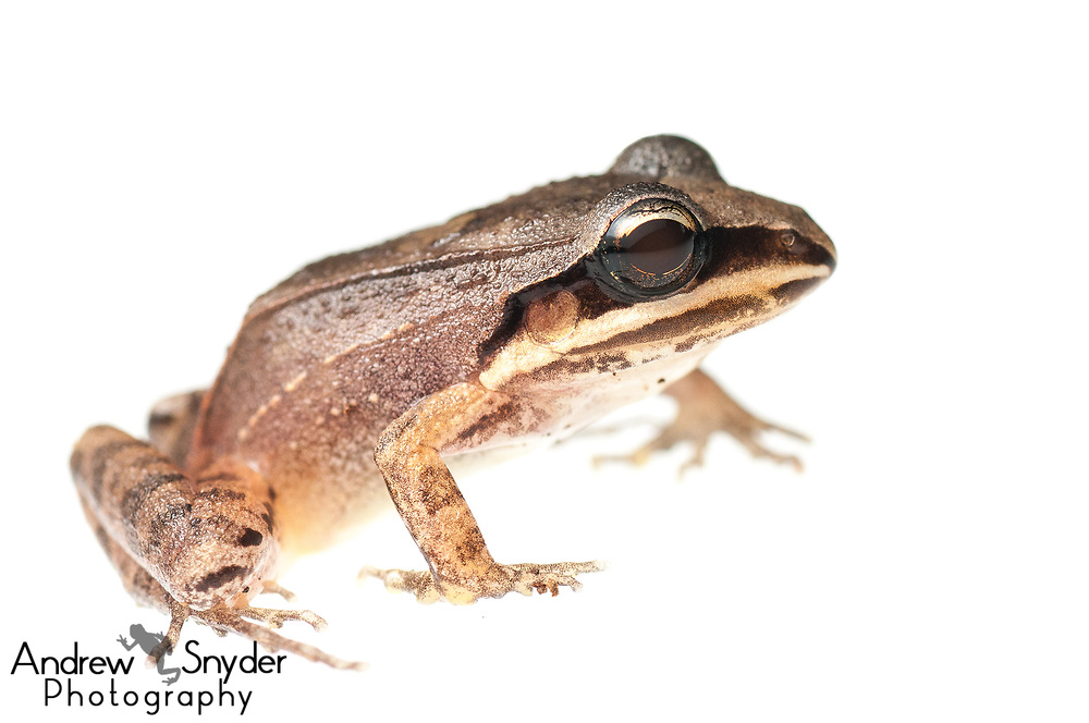 Leptodactylus mystaceus, Kanuku Mountains, Guyana, July, 2013