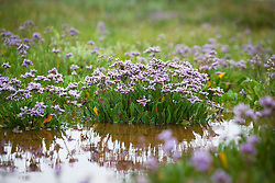 Common Sea Lavender growing on the salt marsh at Stiffkey, Norfolk. Limonium vulgare