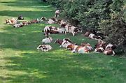 Nederland, Oosterhout, 26-5-2020 Koeien die buiten in de wei staan zoeken de schaduw van struiken Door de aanhoudende droogte en het warme weer is er al vroeg in het jaar een waterprobleem. Foto: Flip Franssen
