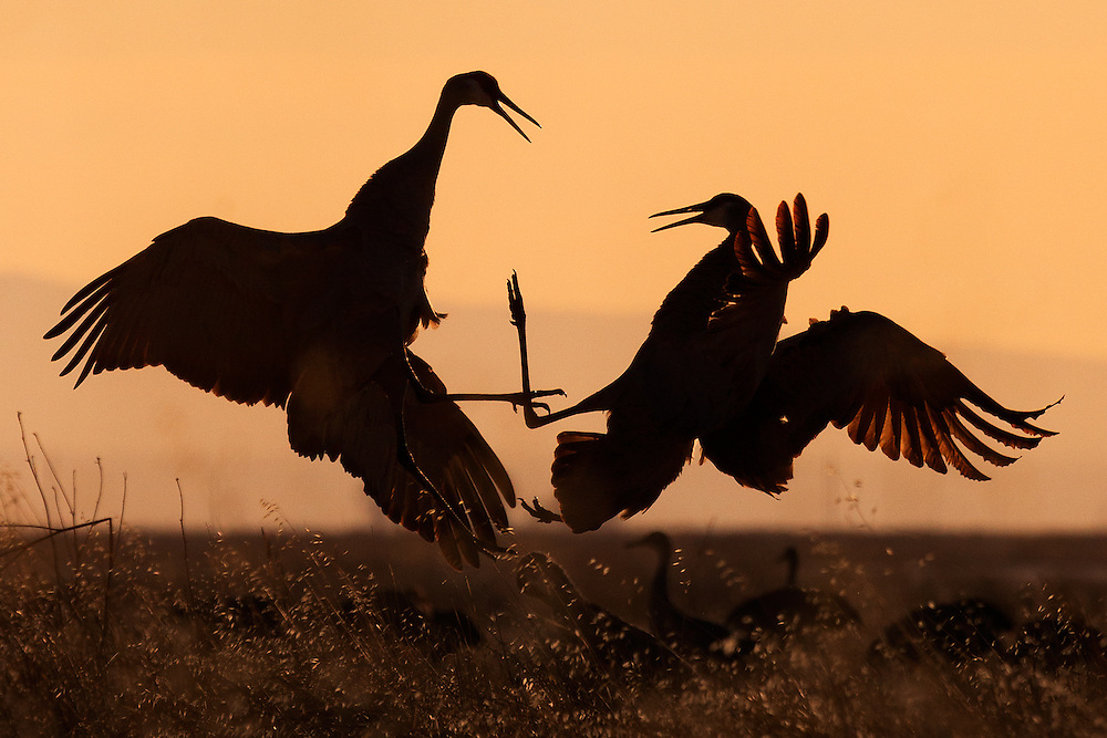 In this spectacular rite of spring in Bosque del Apache Wildlife Refuge, sandhill cranes perform a lively and elegant courtship dance.