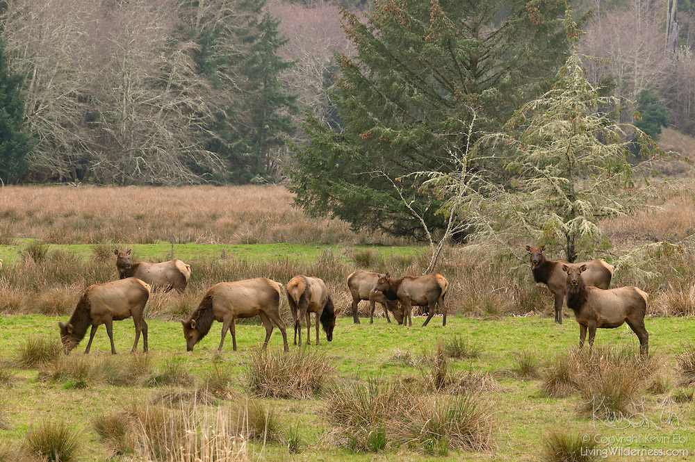 A herd of Roosevelt Elk (Cervus canadensis roosevelti), also known as Olympic Elk, feed in an open area at the edge of the Olympic National Forest in Washington state.