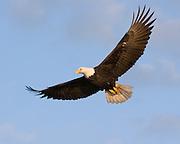 Bald Eagle, Haliaeetus leucocephalus, Kenai Peninsula, Homer Spit, Homer, Alaska. Digital original, #2006_1282 ©Robin Brandt