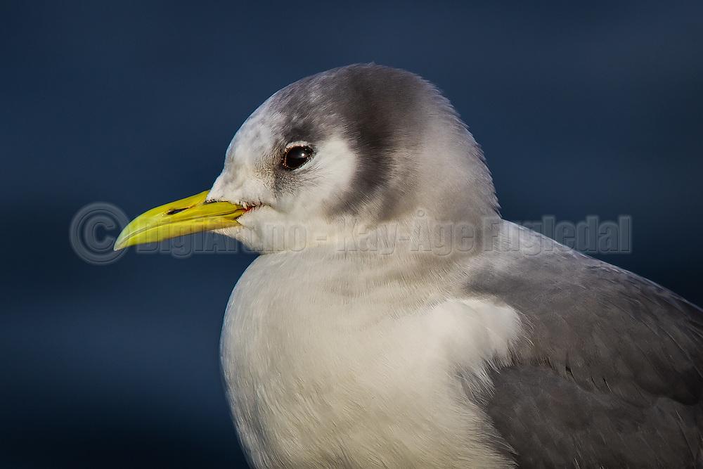 Måke med glimt i øyet   Seagull with twinkle in the eye
